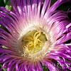 Ice Plant Flower, Carpobrotus chilensis