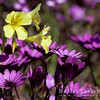 Purples Daisies