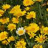 White among the yellow