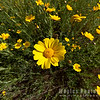Desert Sunflower Zoom-in