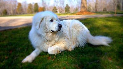 From around my farm during my jog. This is Rex.  My landlords very sweet and protective Great Pyrenees.