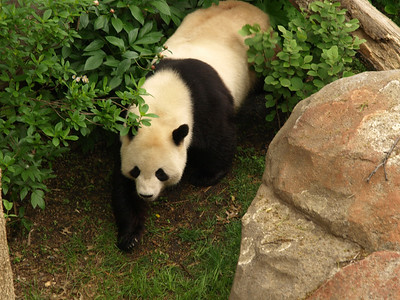 I like to tell people that I got this photo in China...But really it was taken in the D.C. Zoo when I visited it with my friend and my niece.