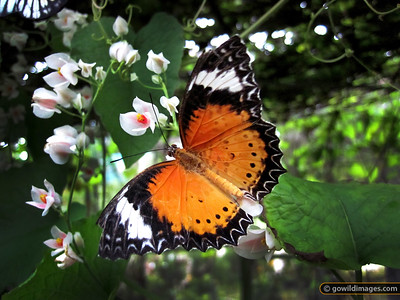 New Lacewing (Cethosia cyane), Penang Butterfly Farm