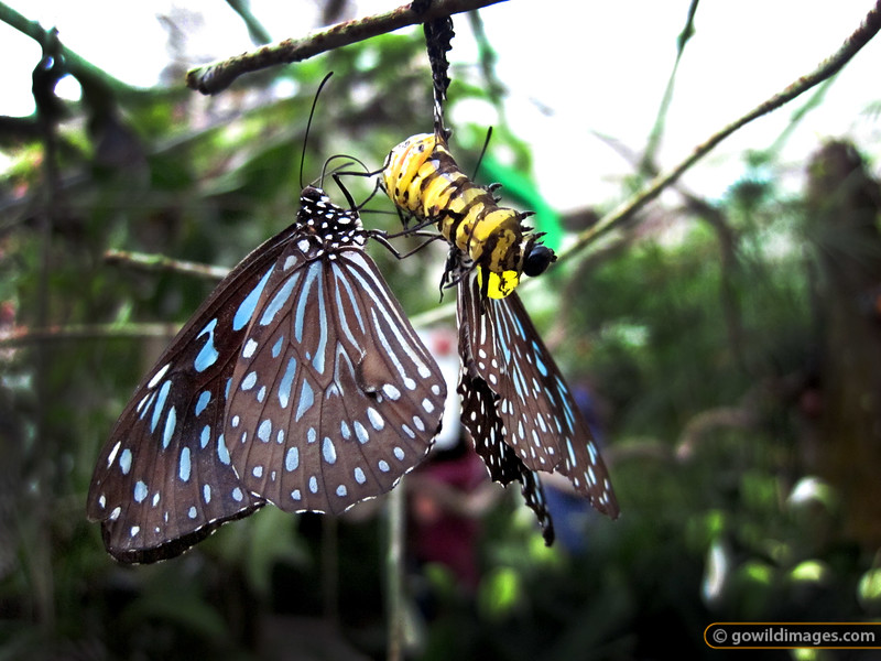 Yellow Glassy Tiger (Parantica aspasia), Penang Butterfly Farm