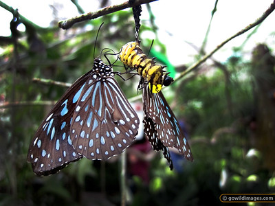 Yellow Glassy Tiger (Parantica aspasia), Penang Butterfly Farm