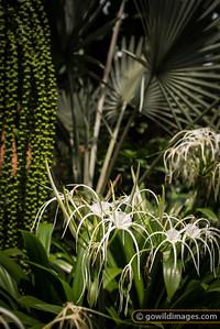 Spider lillies, KL Bird Park