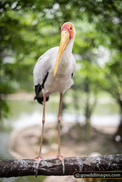 Yellow Billed Stork, KL Bird Park resident
