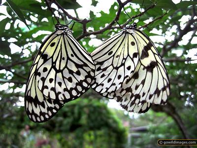 Paper Kite / Rice Paper (Idea leuconoe), Penang Butterfly Farm