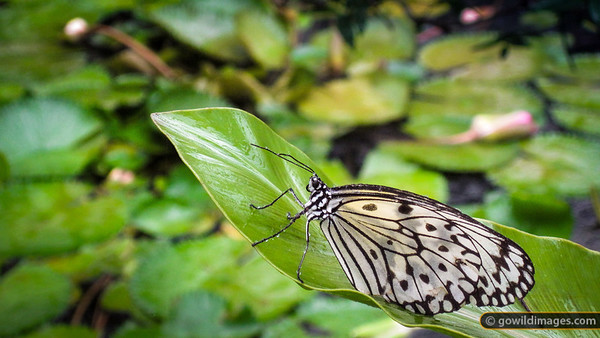 Paper Kite / Rice Paper (Idea leuconoe), Penang Butterfly Farm