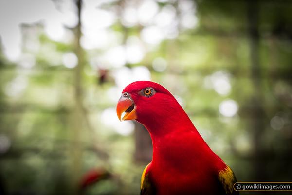 Chattering Lory, KL Bird Park resident