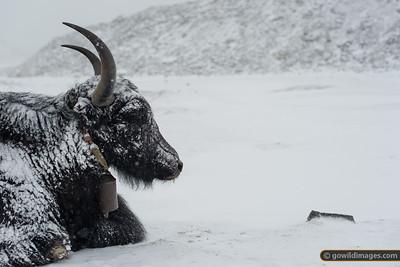 Another chilled yak near Gorak Shep