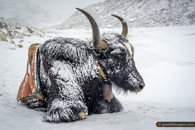 Another Chilled Yak