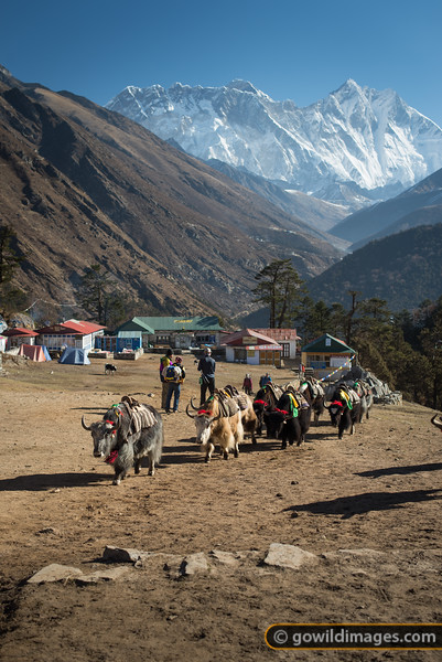 Empty yaks head down for another load. The herders stop to enjoy the view of Everest as they pass through Tengboche.
