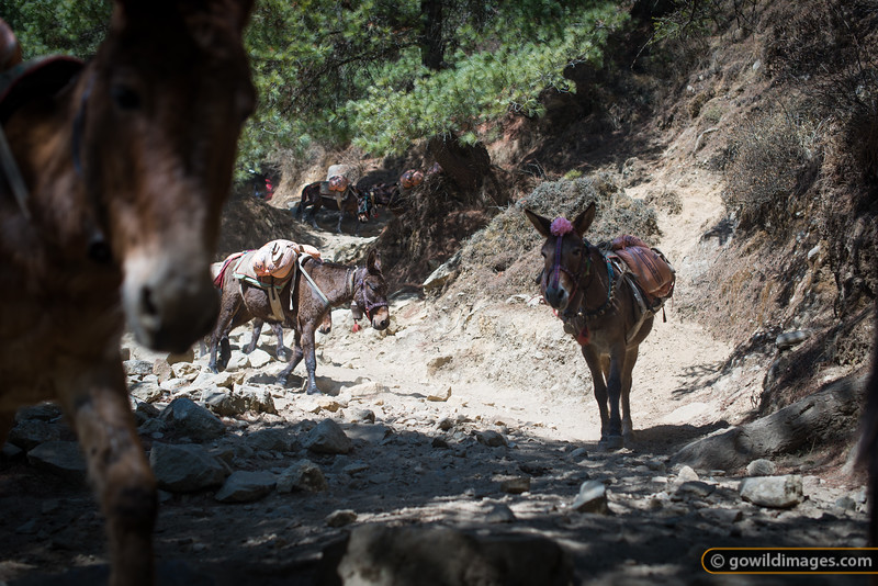 Mule train winds through the lower forest