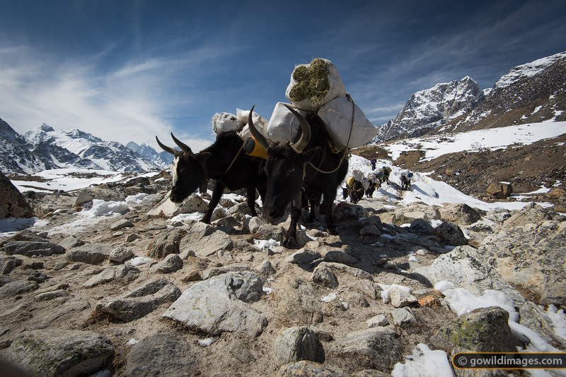 Dzopkyos heading to base camp, loaded with gear and feed
