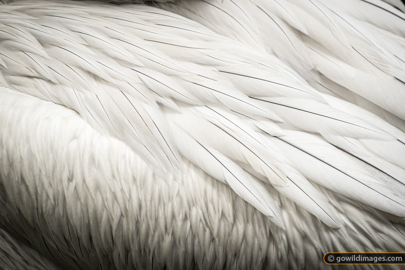 Feather detail, Dalmatian Pelican