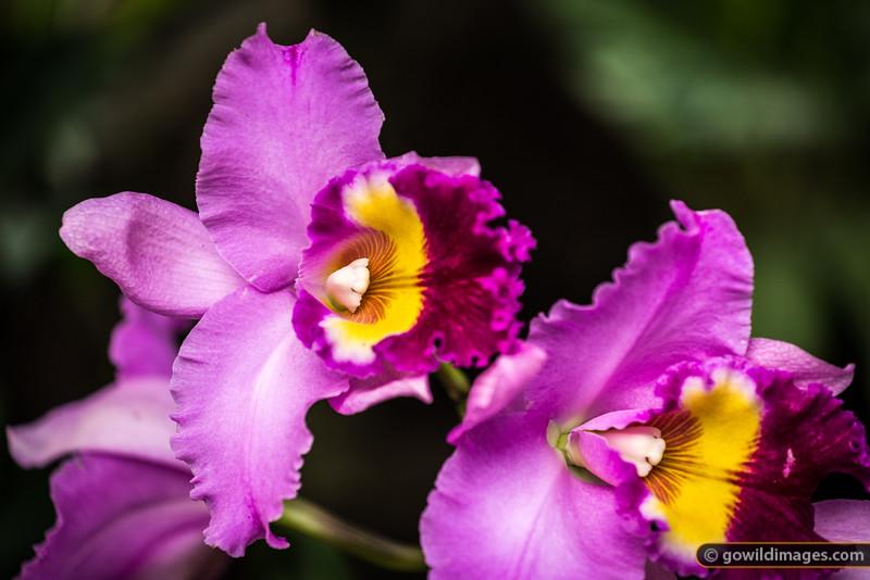 Cattelya Hybrid orchids, Botanic Gardens