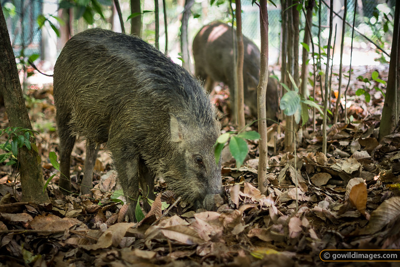 Wild boar foraging in the leaf litter. A sow and piglet, near Chek Jawa Wetlands
