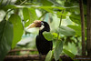 Oriental Pied Hornbill. Jurong Bird Park incubates and hatches these birds.