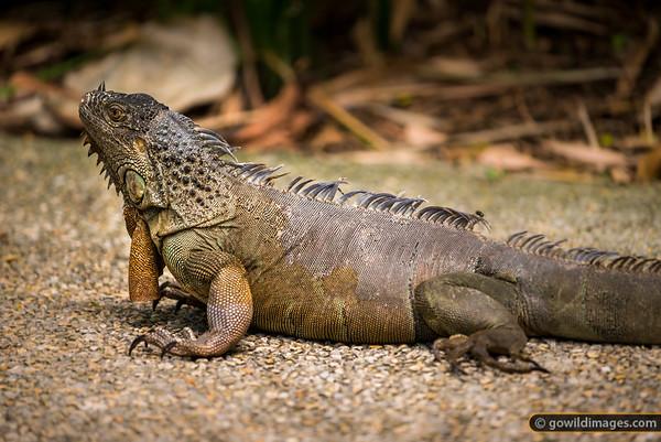 Free-range Iguana on the path