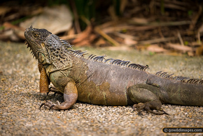 Free-range Iguana on the path