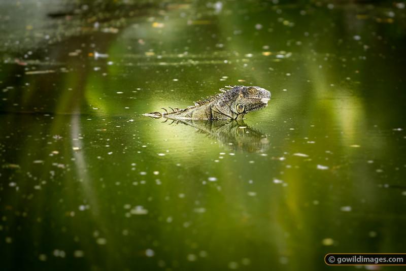 Iguana cooling off