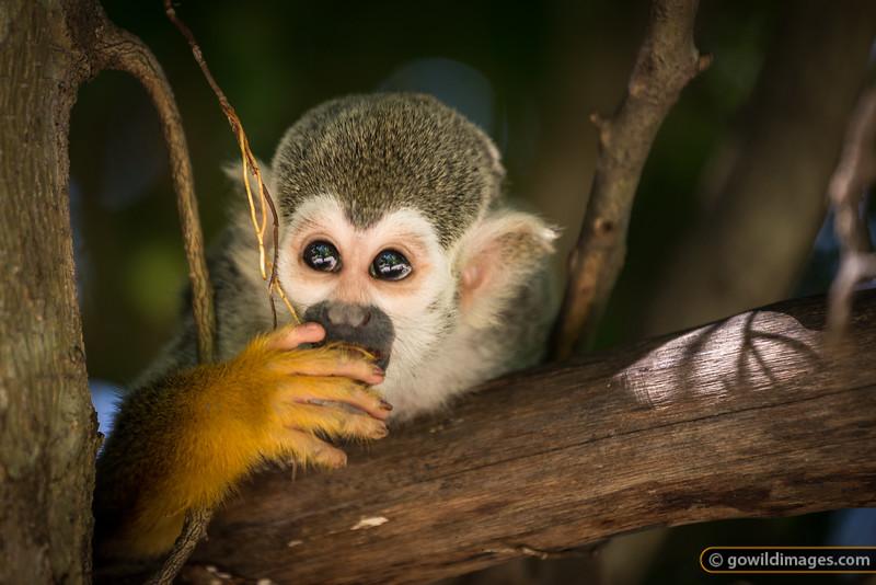 Pensive Primate