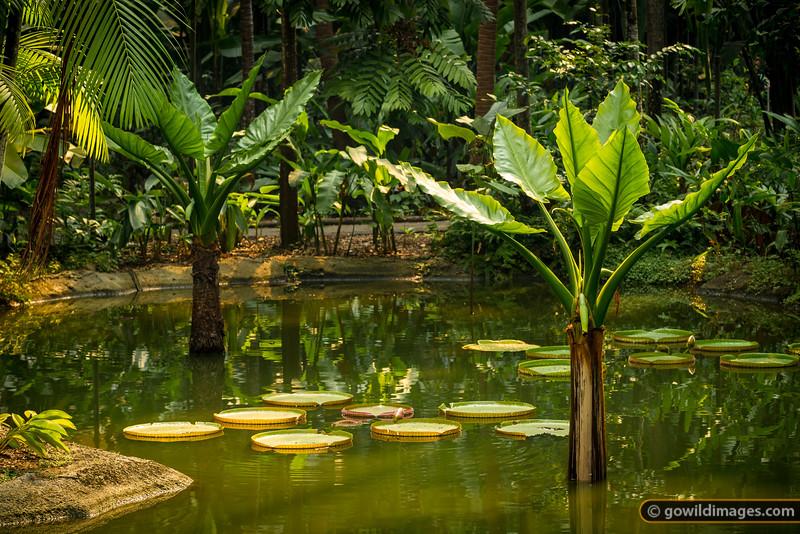 Giant lillies, Botanic Gardens