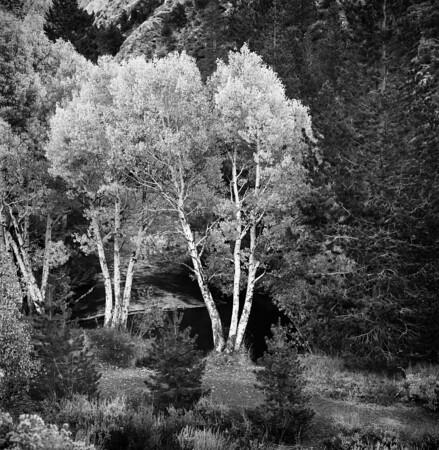 Aspen Trees - June lake Loop #1