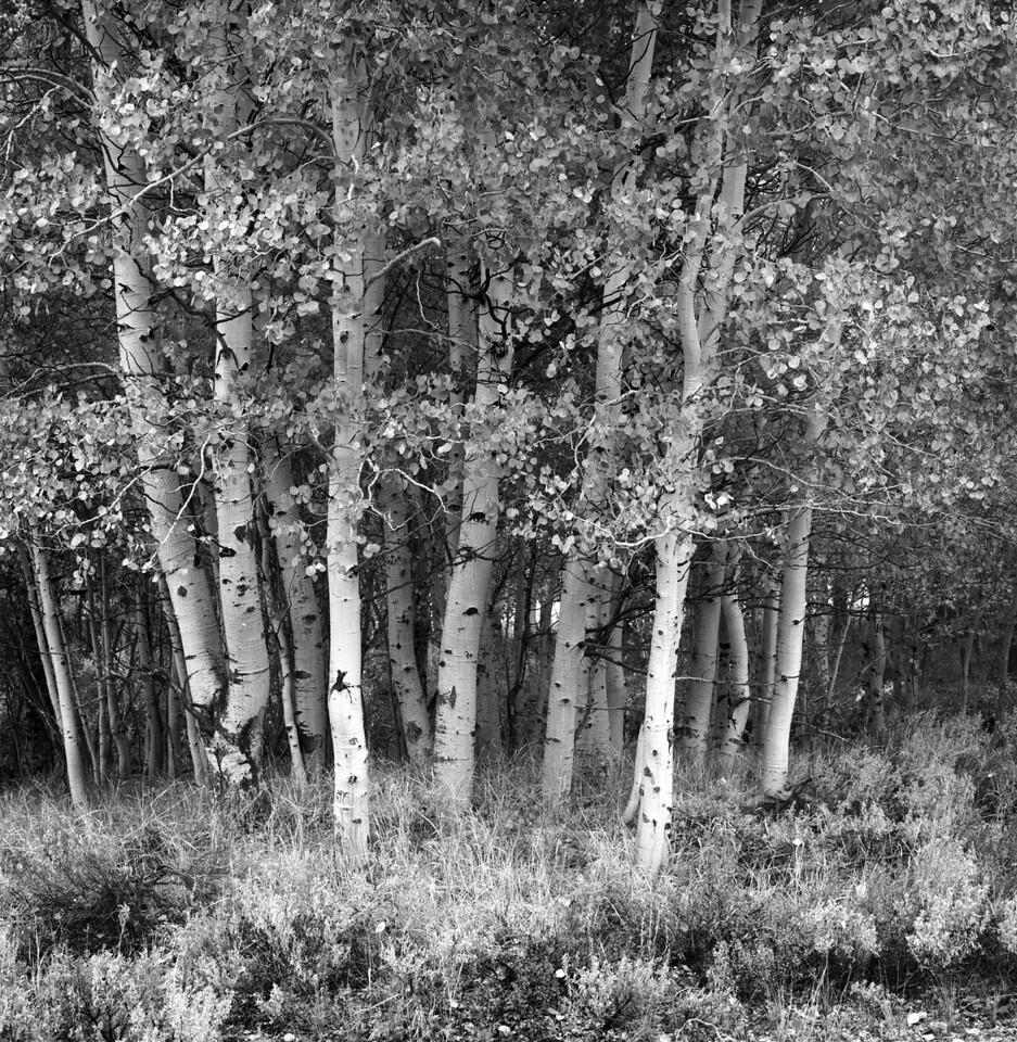 Aspen Trees - Eastern Sierras 2012