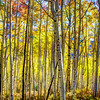 Surreal Aspens
