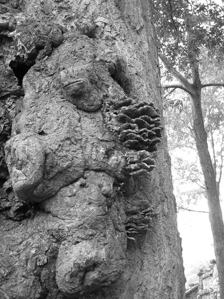 Burells on the tree, some look like faces others like animals.  Piedmont Park, Atlanta Georiga, September 8, 2006