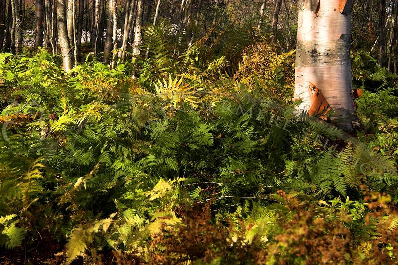 Fall Ferns