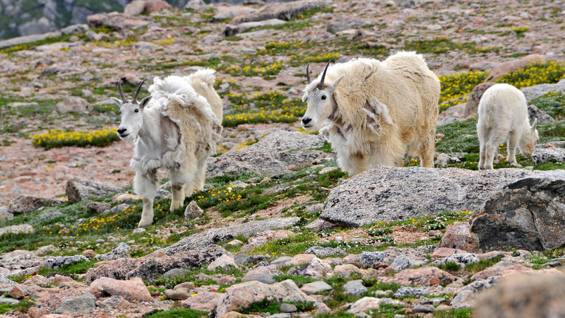 July......Mountain Goats are really shedding last winters coats now.