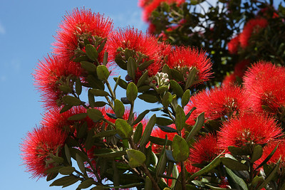 A Pohutukawa in bloom.