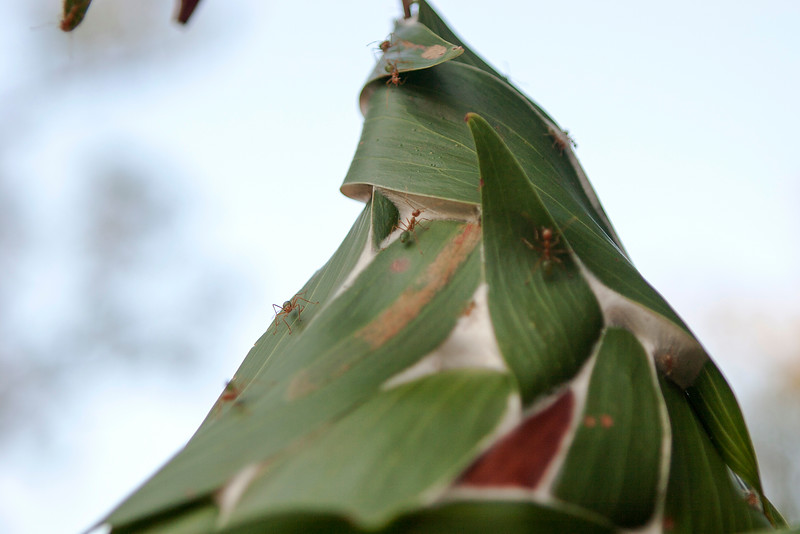 Weaver ant (Oecophylla smaragdina) nest in Arnhem Land
