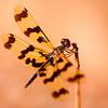 Graphic flutterer (Ryothemis graphiptera), Arnhem Land