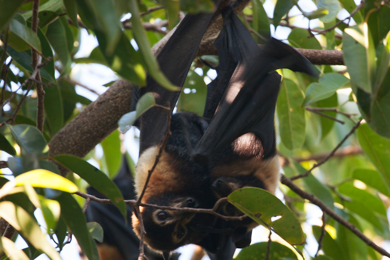 Spectacled flying fox (Pteropus conspicillatus), Cairns
