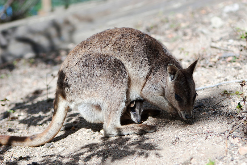 Mareeba rock-wallaby (Petrogale mareeba) at Granite Gorge Nature Park