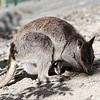 Mareeba rock-wallaby (Petrogale mareeba) at Granite Gorge Nature Park