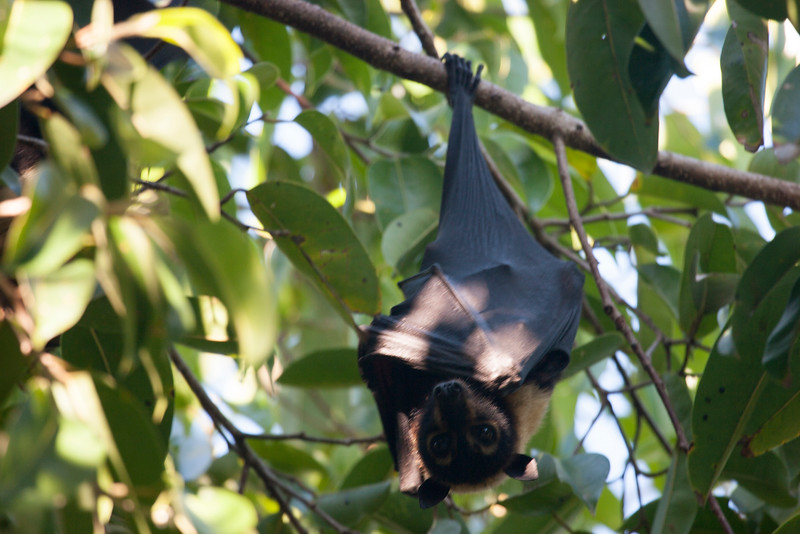 The spectacled flying fox (Pteropus conspicillatus), Cairns