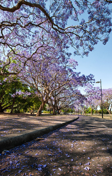 Under the Jacarandas