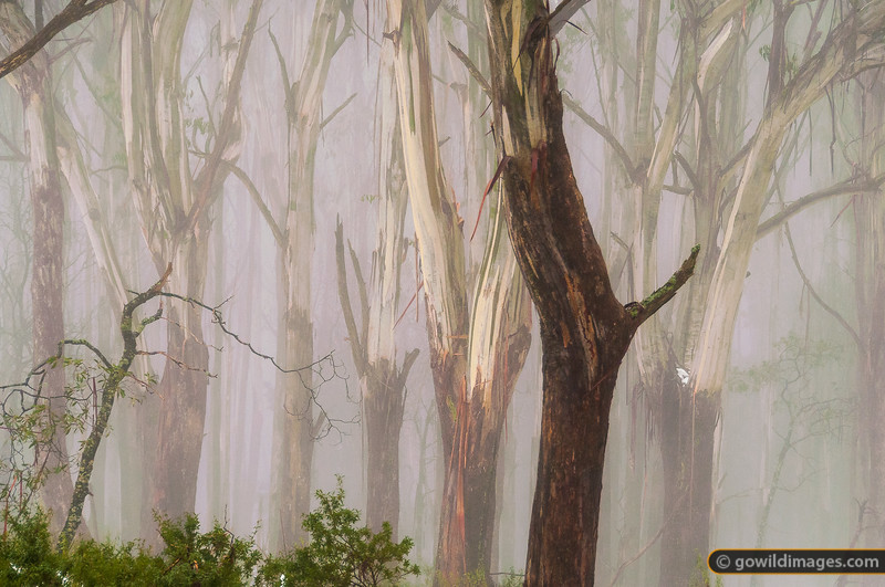 Snow gums in the mist on Mt Donna Buang