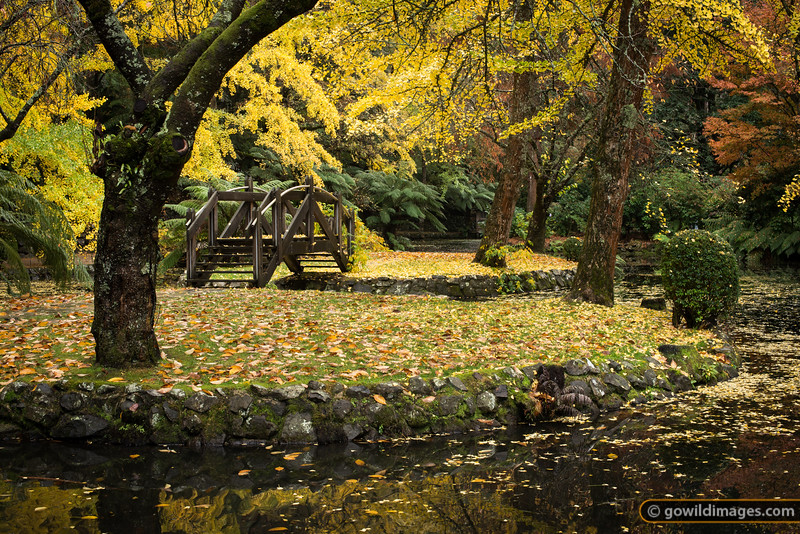 Ginkgo trees by the lake, Alfred Nicholas gardens