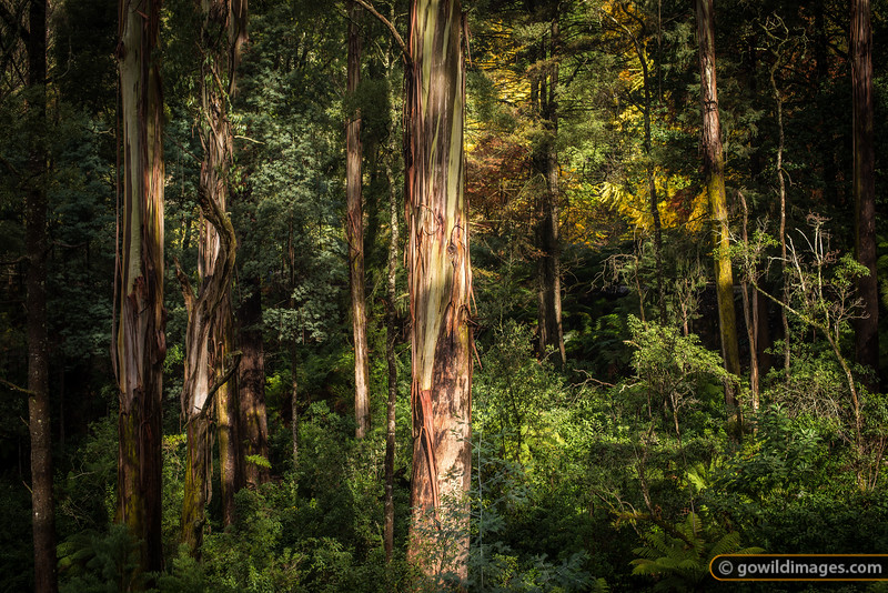 Mountain Ash and ferns, Alfred Nicholas gardens