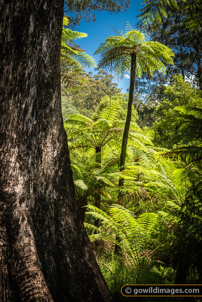 Old tree ferns and Mountain Ash gum, Hardy Gully nature walk Sherbrooke, Dandenongs