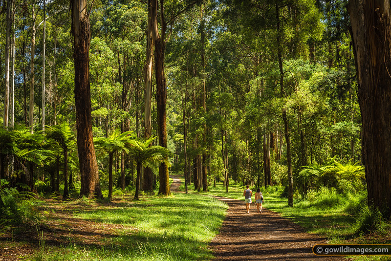 Old tree ferns and Mountain Ash gums along Coles Ridge track, Sherbrooke, Dandenongs
