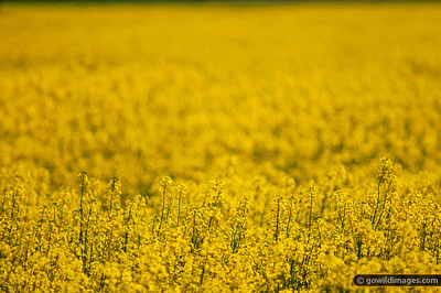 Canola field by the Hume Freeway at Beveridge, just north of Melbourne