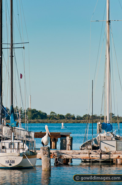 A pelican relaxes at Hastings Marina as a paddle boarder cruises over Westernport Bay. Yacht: 'Barcardi HA 500'