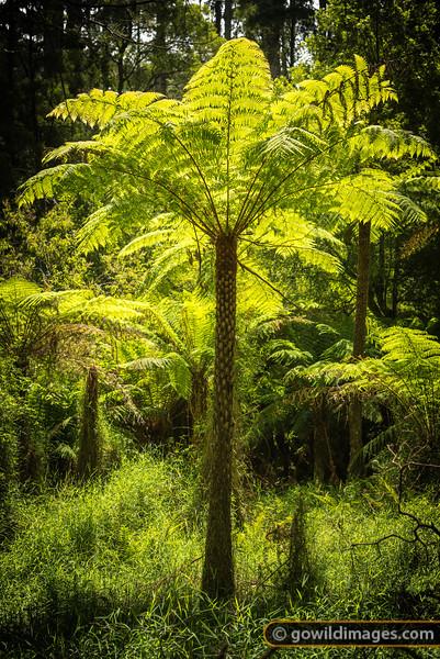 Old tree fern, Lyrebird walk, Sherbrooke, Dandenongs